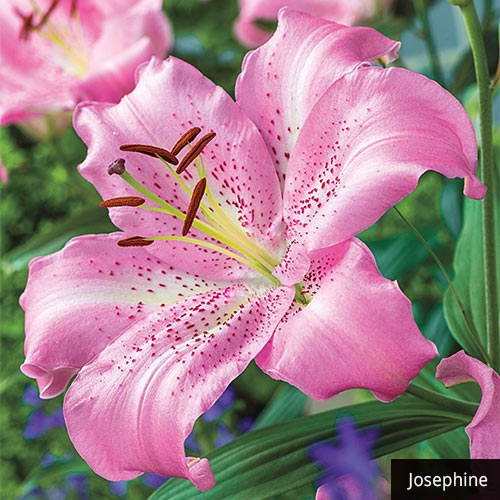 Fragrant Oriental Lily Collection