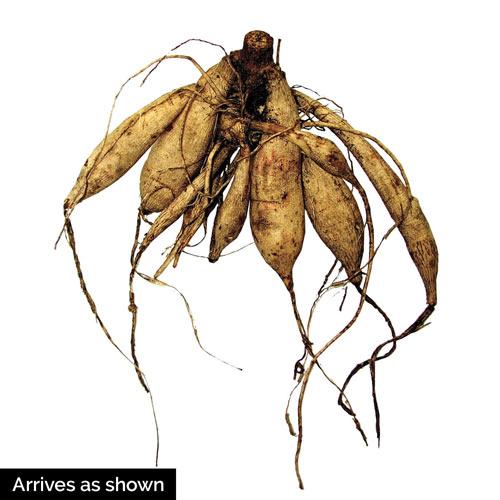Honey Anemone Dahlia