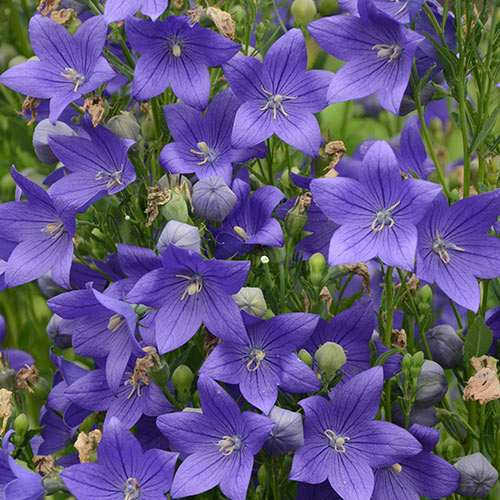 Fuji Blue Balloon Flower