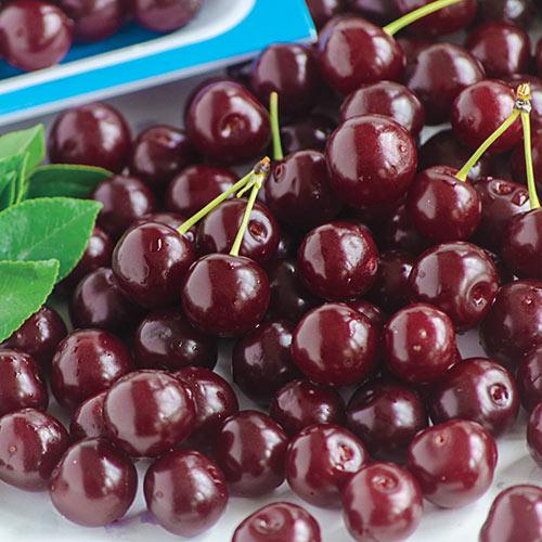 Romeo Tm Dwarf Cherry Hedge