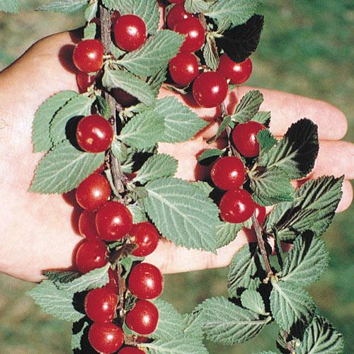 Nanking Bush Cherry