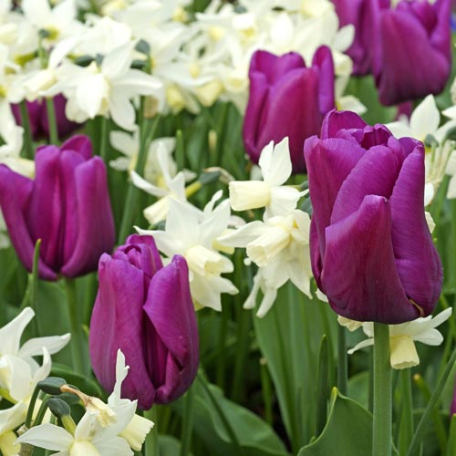 Клумба из пупрупных тюльпанов и белых нарциссов Византия