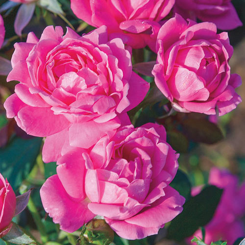 Rose Knock Out Pink Double