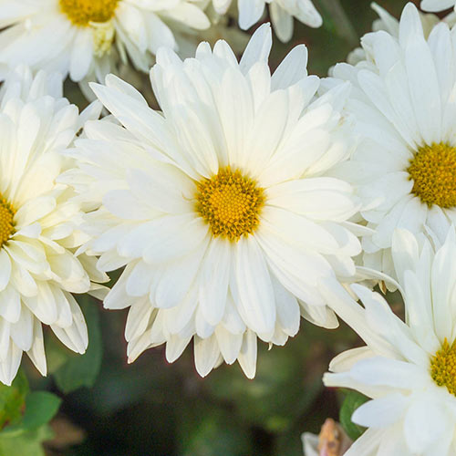 White Daisy Mammoth Mum