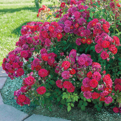 Children's Hope™ Shrub Rose