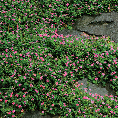 Magic Carpet Thyme