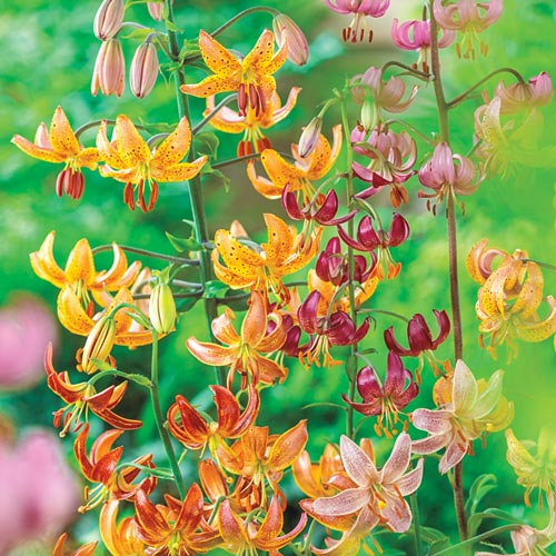 Martagon Hybrid Lily Mix