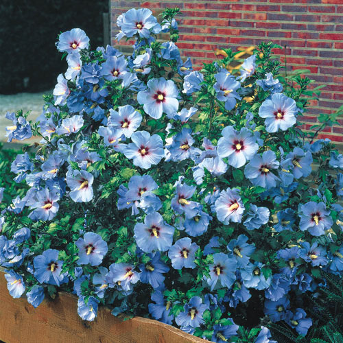 Blue Bird Rose of Sharon
