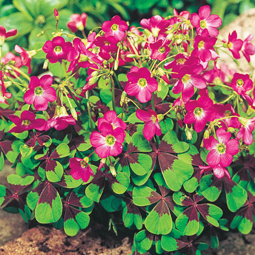 Iron Cross Good Luck Plant