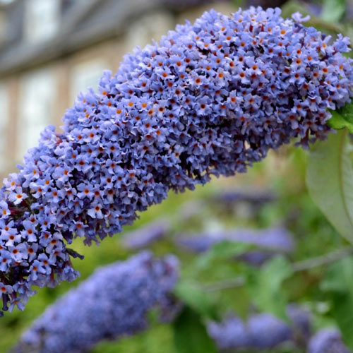 3-In-1 Butterfly Bush