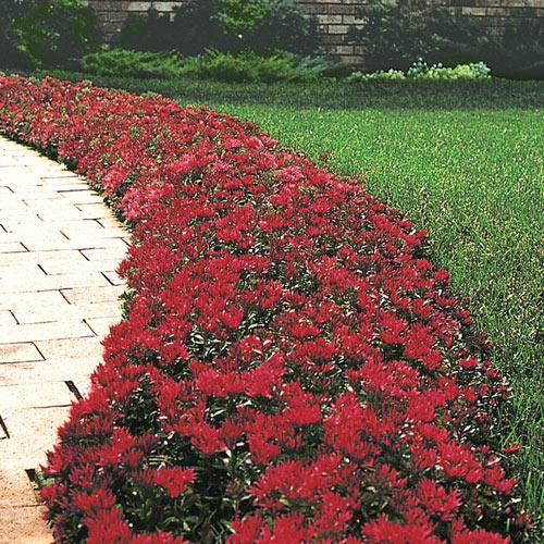 Red Creeping Sedum