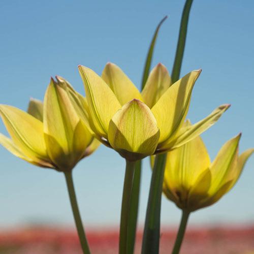 Lucca Tulip