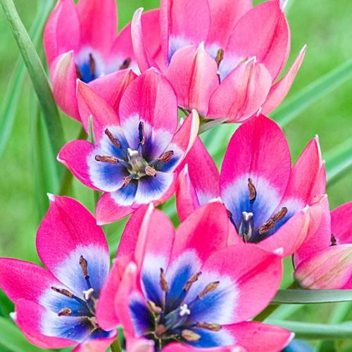 Little Beauty Tulip