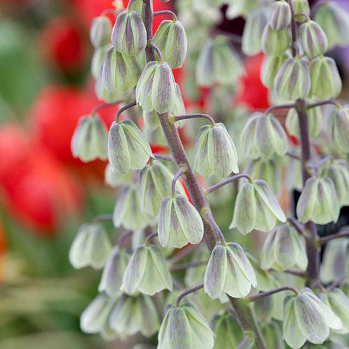 Green Dreams Persian Lily