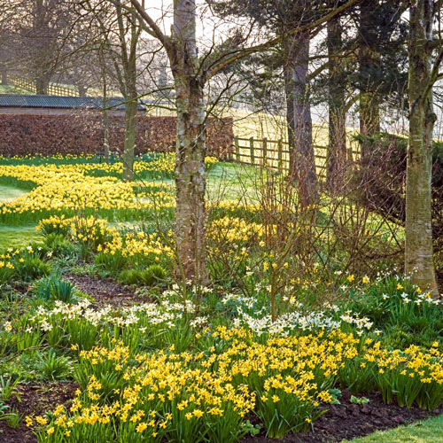 Woodland Carpet of Daffodils