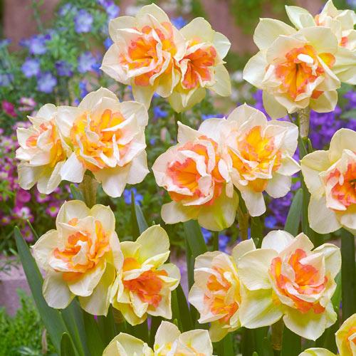 Sweet Ocean Daffodil