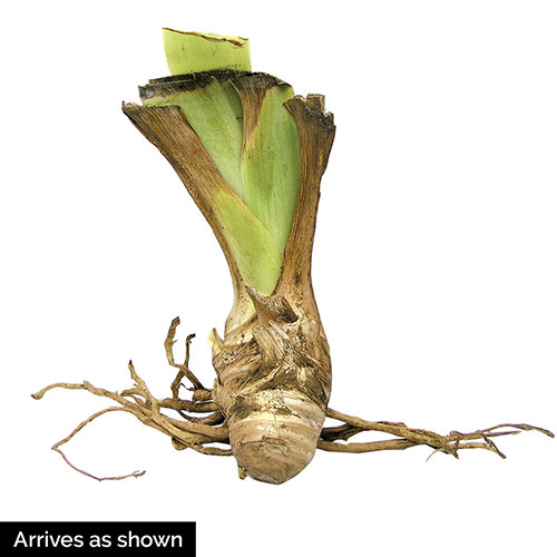 Entitled German Iris