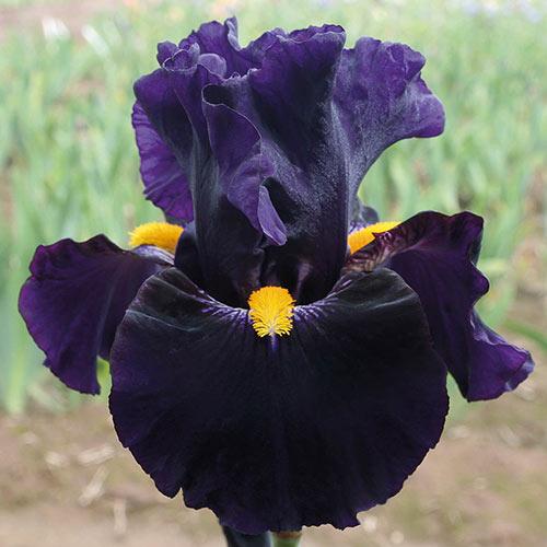 Lady of the Night German Iris