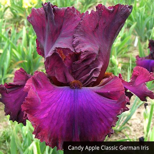 Mardi Gras Iris Collection