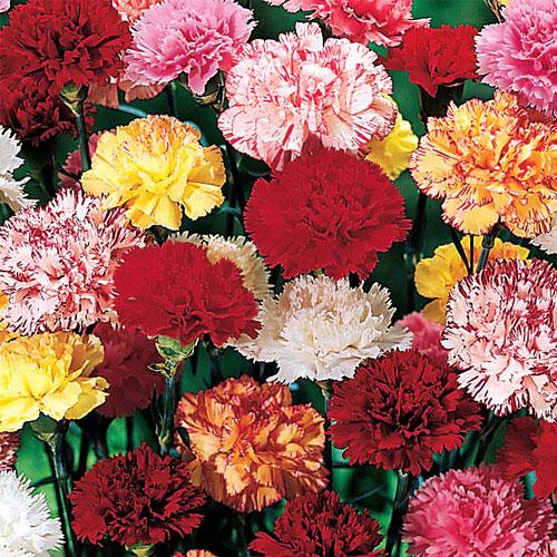 Hardy Mixed Carnations