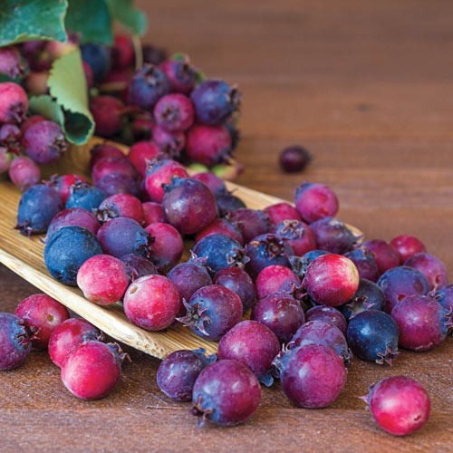 Saskatoon Blueberry