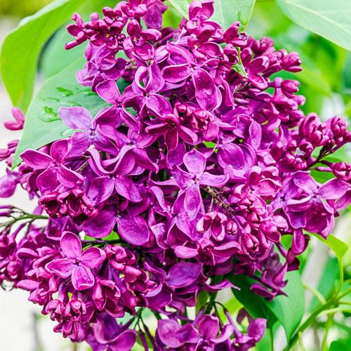 Monge Lilac