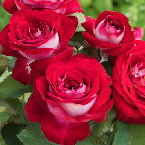 Love At First Sight Hybrid Tea Rose