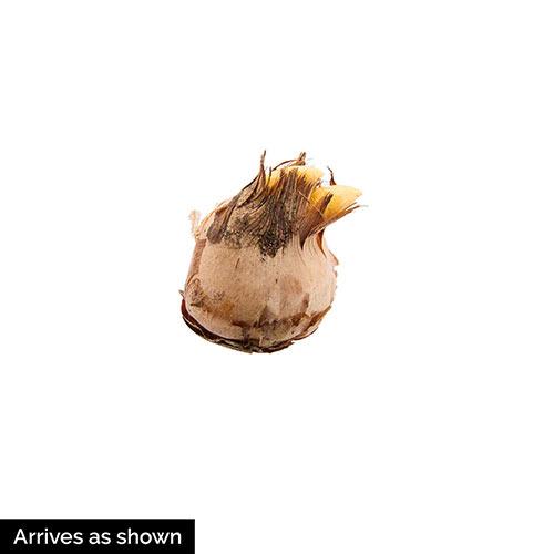 Ard Schenk Snow Crocus