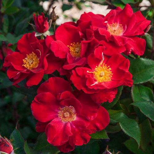 Top Gun™ Own-Root Shrub Rose