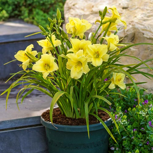Fragrant Returns Daylily