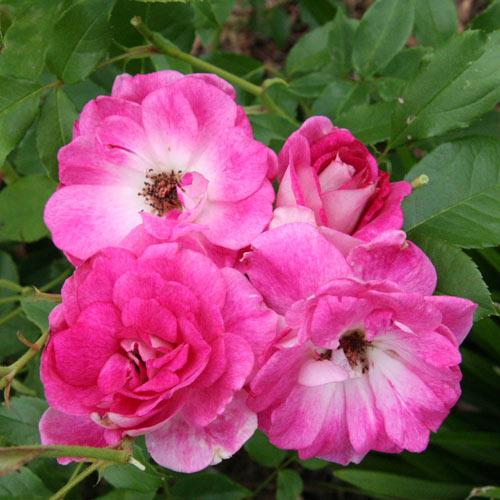 Brilliant Pink Iceberg Floribunda Rose