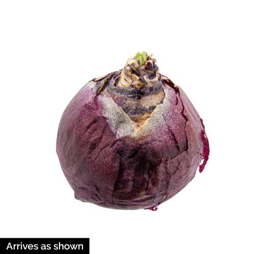 Dark Dimension Hyacinth