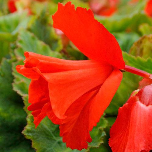 Daffodil Salmon Begonia