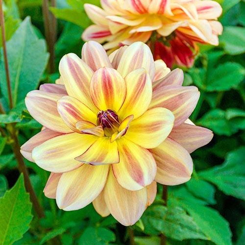 Happy Butterfly Dahlia