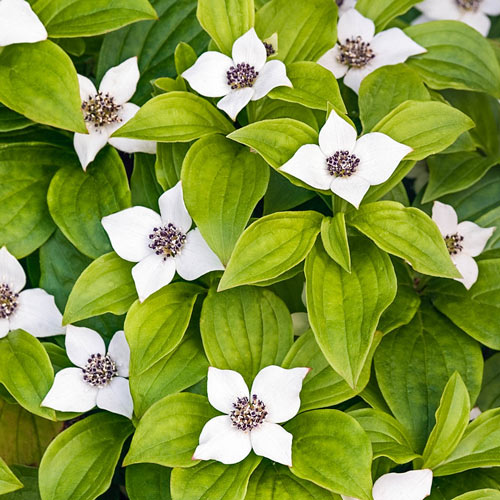 Groundcover Dogwood