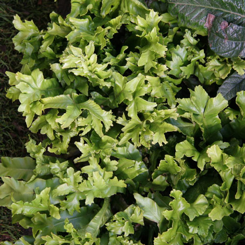 Crested Hart's Tongue Fern
