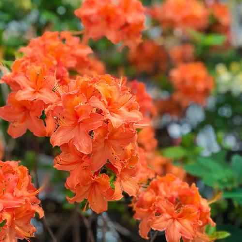 Mandarin Lights Hardy Azalea