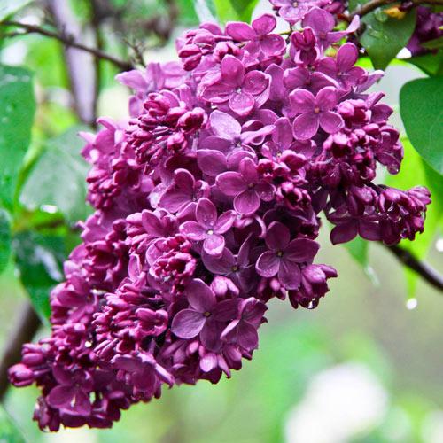 Magenta French Hybrid Lilac