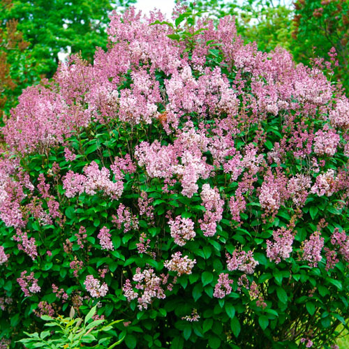 Minuet Lilac Hedge