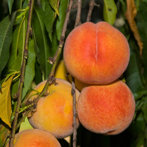 Peach Loring