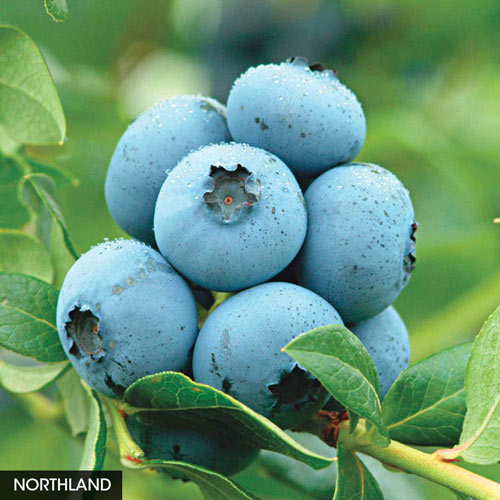 Super Hardy Blueberry Collection