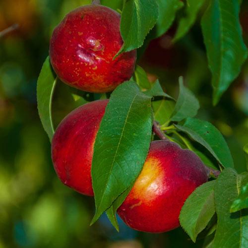 Ruby Grand Nectarine