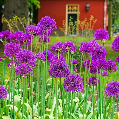 /'PURPLE SENSATION/' Allium SPRING BLOOMER Perennial flower seeds *Butterflies