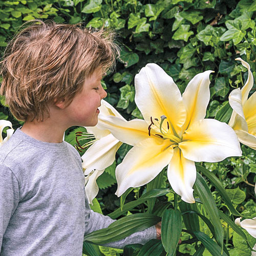 Big Brother Giant Lily