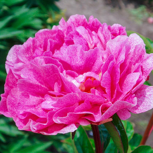 The Fawn Peony