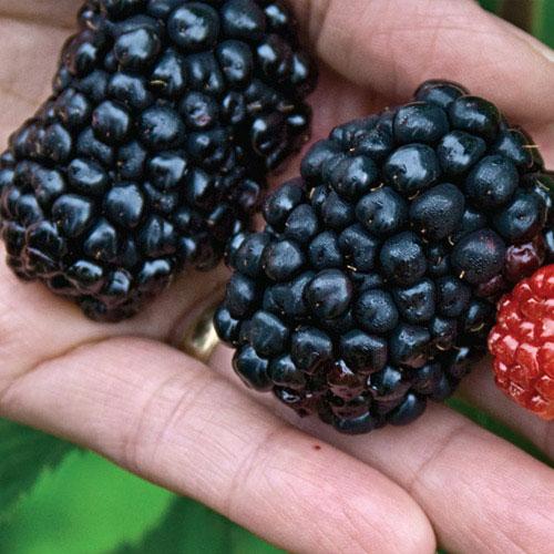 Giant Kiowa Blackberry