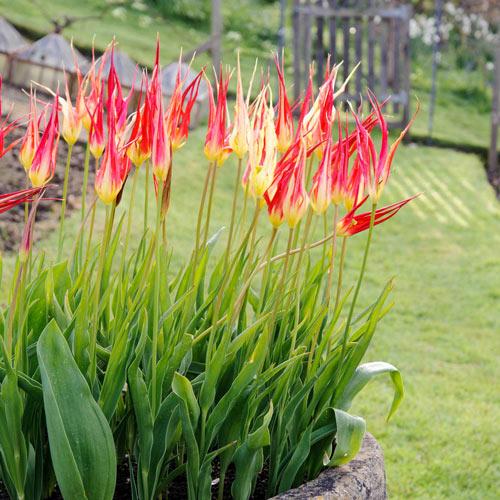 Tulip Acuminata