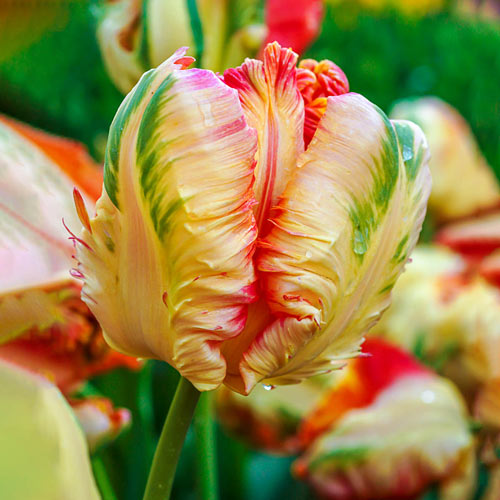 Blushing Parrot Tulip