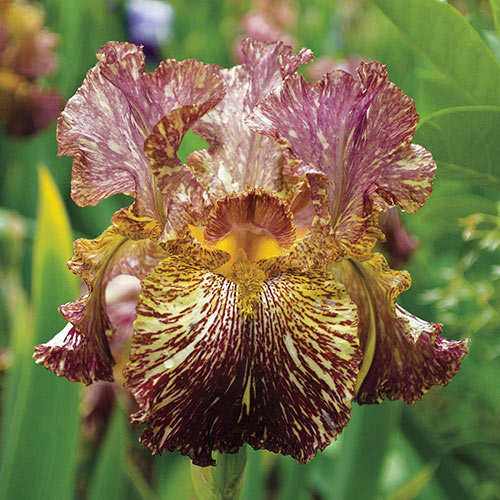 Bewilderbeast German Iris