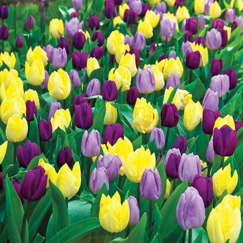Royal Tulip Blend